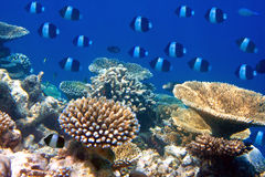 Underwater landscape in a sunny day.Fishes in corals. Fishes in corals. Maldives. Indian ocean Royalty Free Stock Photos
