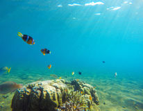 Underwater landscape with tropical fish. Clownfish undersea photo. Royalty Free Stock Images