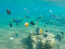 Underwater landscape with tropical fish. Young coral formation and coral fish shoal. Butterfly fish, thalassoma, surgeonfish. Aquarium fishes in wild nature royalty free stock photo