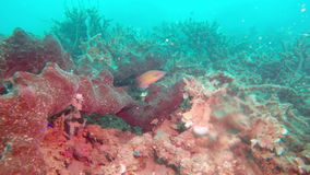 Underwater landscape of the tropical sea, fish and corals of different color.  stock video