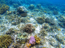 Underwater landscape with young coral reef. Diverse coral ecosystem. Royalty Free Stock Images
