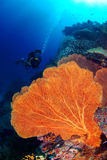 Underwater large seafan and diver in the blue sea. A beautiful hard coral reef and a large seafan with a young man dives deep in Similan North Andaman, Thailand Stock Image