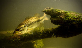 Underwater largemouth bass fish. Largemouth bass fish underwater in lake with algae Royalty Free Stock Images
