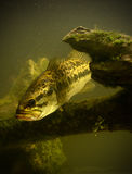 Underwater largemouth bass fish Royalty Free Stock Images
