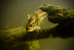 Underwater largemouth bass fish Stock Photography