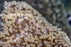 Underwater, Lembeh Strait,Indonesia. Ancylomenes magnificus, is a kind of cleaner shrimp in Lembeh straits stock image