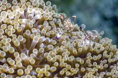 Underwater, Lembeh Strait,Indonesia. Ancylomenes magnificus, is a kind of cleaner shrimp in Lembeh straits royalty free stock image