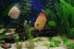 Underwater life. In nature Discus fish Royalty Free Stock Photo