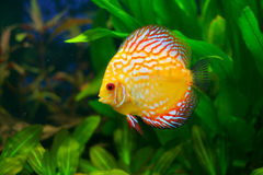 Underwater life. In nature tropical fish Royalty Free Stock Images