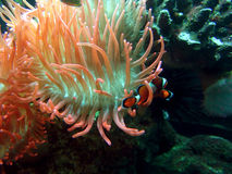 Clawn fish and Anemone. Small tropical fish swims in an anemone's tentacles Royalty Free Stock Images