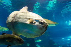 Ocean sunfish or bony Fish - Aquarium Barcelona Stock Images