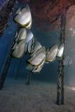 Underwater life - Batfishes ( Platax orbicularis ) Royalty Free Stock Photography