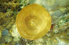 Underwater life Bell sponge Ircinia campana Stock Images