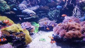 Underwater life of clown fish and other exotic fish in big aquarium. With reefs and plants on background. nature, tropical fauna, ocean inhabitants stock footage