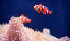 Underwater Life Clownfish. Clownfish under sea water, shoot in east southern Asia Stock Images