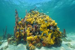 Underwater life with colored sea sponge on coral Stock Images