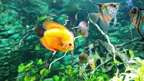 Underwater life of colorful exotic fish in aquarium with seaweeds on background. Nature, tropical fauna, ocean inhabitants stock footage