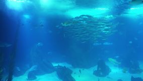 Underwater life of a coral reef. Sharks, rays and other fish. Large aquarium. Sea background video. School of fish, Sting rays, Whale Sharks. Stingrays, Whale stock video
