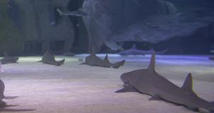 Underwater life of a coral reef. Sharks, rays and other fish. Large aquarium stock video