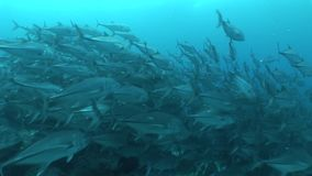Underwater life diving Galapagos islands Equador South America Video stock footage