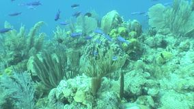 Underwater life diving Video Cuba Caribbean Sea. Underwater Cuba Caribbean sea safari diving video stock video footage
