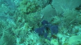 Underwater life diving Video Cuba Caribbean Sea. Underwater Cuba Caribbean sea safari diving video stock footage