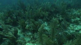 Underwater life diving Video Cuba Caribbean Sea stock video