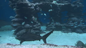 Underwater life of fish. And big sharks stock video footage