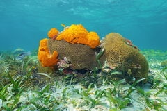 Underwater life with Great Star coral and sponges. Underwater life on a shallow seabed of the Caribbean sea with Great Star coral and Agelas sponges stock photography