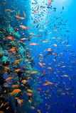 Underwater life. Underwater image of coral reef with school of fish and divers royalty free stock photo