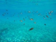 Underwater life kalogries, damselfish or Mediterranean Chromis in Kolona double bay Kythnos island Cyclades Greece, Aegean sea. Horizontal stock photo