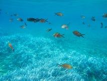 Underwater life kalogries, damselfish or Mediterranean Chromis in Kolona double bay Kythnos island Cyclades Greece, Aegean sea. Horizontal stock photography