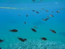 Underwater life kalogries, damselfish or Mediterranean Chromis in Kolona double bay Kythnos island Cyclades Greece, Aegean sea. Horizontal royalty free stock images