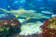 Shark. Underwater life L`Aquarium de Barcelona or Aquarium of Barcelona - Spain Royalty Free Stock Photography