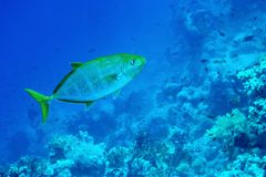 Underwater life landscape in the Red Sea Royalty Free Stock Image