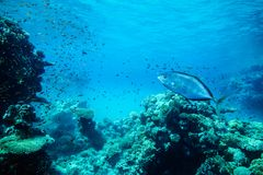 Underwater life landscape in the Red Sea Royalty Free Stock Photo