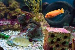 Underwater life of marine fish. In aquarium of Oceanarium royalty free stock image