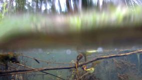 Underwater life in a moat. In a German forest stock video