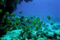Underwater Life Of Coral Reef Royalty Free Stock Photo