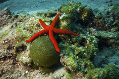 Underwater Life - Red Starfish Stock Photography