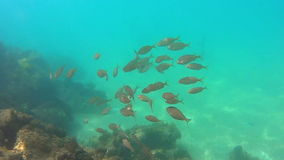 Underwater life. With a school of fish stock video