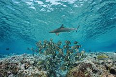 Underwater school of fish with shark Pacific ocean. Underwater life a school of fish whitespotted surgeonfish with a blacktip reef shark, Pacific ocean, French Royalty Free Stock Photo