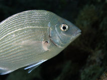 Underwater Life - Sea.Bream Stock Photos