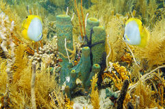 Underwater life sea sponge in coral garden. Underwater sea life Branching tube sponge in a coral garden with sponge brittle star and butterfly fish, Caribbean stock photo