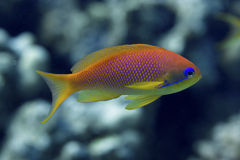 Underwater life : tropical fishes Stock Images
