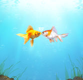 Underwater Love. Two goldfish in love, lost now found Royalty Free Stock Photo