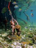 Underwater mangrove Stock Photography