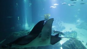 Underwater Manta Ray. Undersea marine life. Prospective view of a large Manta Ray swimming under blue ocean. Seabed blue background stock video