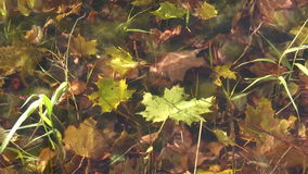 Underwater maple leaf. Underwater maple leaves in forest stream stock video