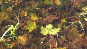 Underwater maple leaf stock video
